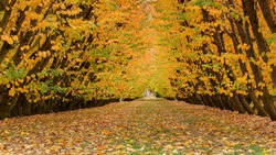 Golden autumn orchards with fallen leaves covering the ground, Otago region, South Island