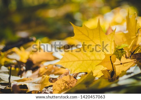 Golden autumn scene in a park with falling leaves. Vibrant fall foliage. The sun shining through the leaf. Selective focus. #1420457063