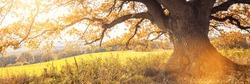 Golden autumn sun light falls through a oak tree, panorama