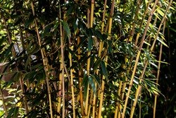 Golden Bamboo canes, growing in a clump, with emphasis on the canes