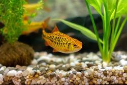 golden barb (schuberti barb, puntius semifasciolatus) in a home aquarium, bright tropical aquarium fish