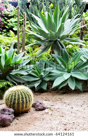 Golden barrel cactus and agava at tropical garden