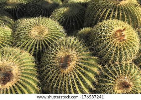 Golden Barrel cactus cluster in Arizona Winter, Nature background