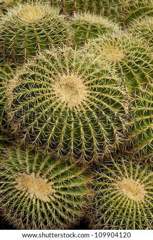 Golden Barrel Cactus ( Echinocactus grusonii) in El Huerto del Cura Botanic Garden. Elche, Alicante, Costa Blanca, Spain, Europe.