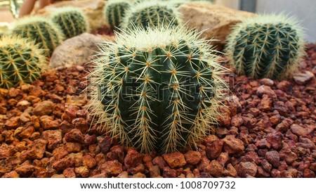 golden barrel cactus ...