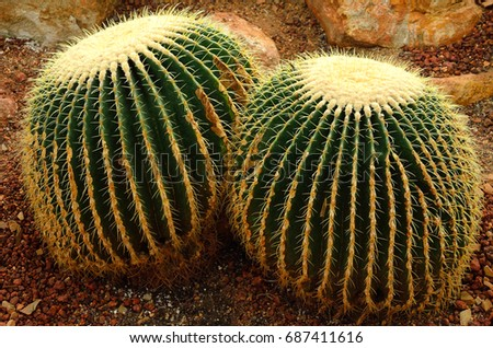 Golden barrel cactus or Echinocactus grusonii