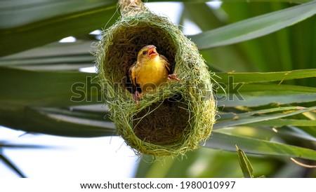 Golden Baya Weaver Bird With Its Nest Colony Peeping Foto stock ©