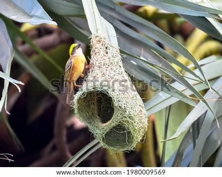 Golden Baya weaver Building Nest On The Tall Tree Foto stock ©