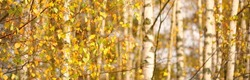 Golden birch forest. Green, orange, yellow, red leaves, close-up. Pure nature, environmental conservation, ecology. Tree trunks, natural autumn leaf texture, pattern, background, macro photography