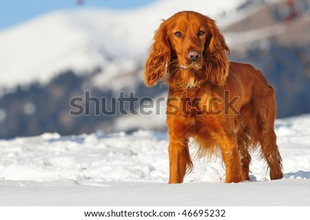 golden british cocker spaniel dog standing in the snow, with green collar