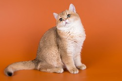 Golden british shorthair kitten with green eyes on a bright orange background