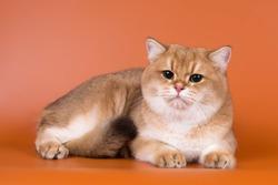 Golden british shorthair kitten with green eyes on a bright orange background