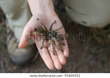 Golden Brown Baboon Spider (Augacephalus breyeri) held in a hand to show size. Endemic species to South Africa