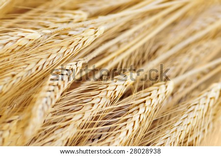 Golden brown ripe wheat ears close up