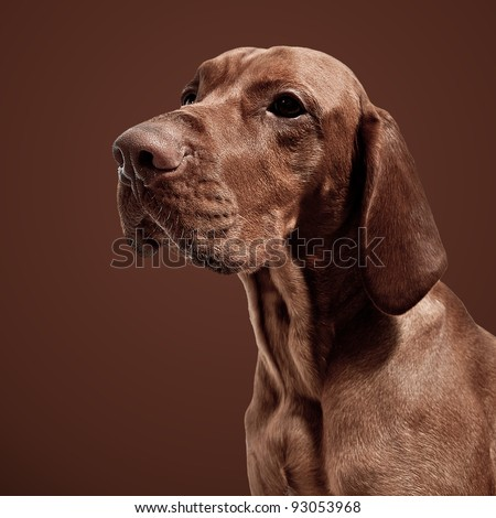 Golden Brown Weimaraner Hunting Dog On Brown Background Stock Photo ...