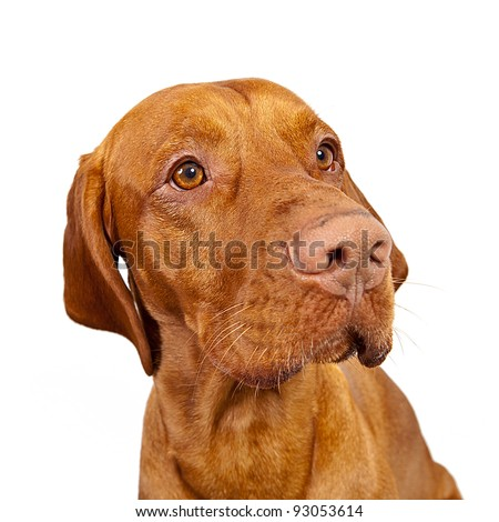 Golden Brown Weimaraner Hunting Dog On White Background Stock Photo ...