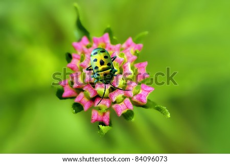 Golden bug sitting on young lantana flower buds