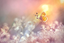 Golden butterfly glows in the sun at sunset, macro. Wild grass on a meadow in the summer in the rays of the golden sun. Romantic gentle artistic image of living wildlife