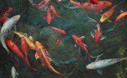 Golden carps and koi fishes in the pond