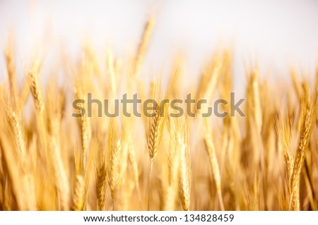Golden cereal ears grow on field, many ripe plants ready to harvest, close-up and blurred, open air. Photo taken in Poland.