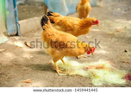 golden chicken in farm chicken #1459441445