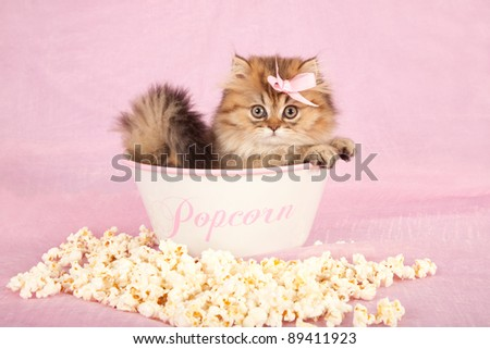 Golden Chinchilla kitten sitting inside popcorn bowl on pink background