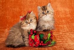 Golden Chinchilla kittens inside Christmas cup on orange background