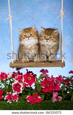 Golden Chinchilla kittens on garden swing with flowers