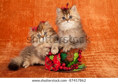 Golden Chinchilla kittens with Christmas decorations