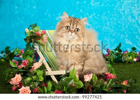 Golden Chinchilla Persian kitten in fake garden sitting on miniature deckchair - stock photo