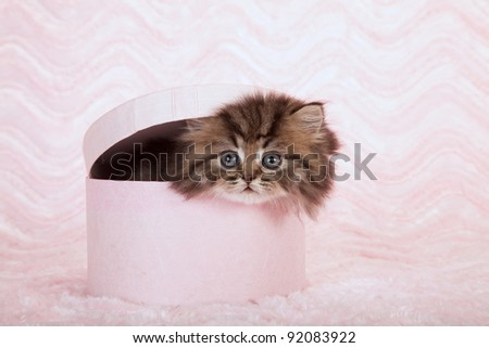 Golden chinchilla persian kitten in pink gift box on pink background
