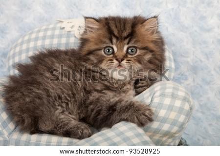 Golden Chinchilla Persian kitten on miniature blue gingham chair on blue background