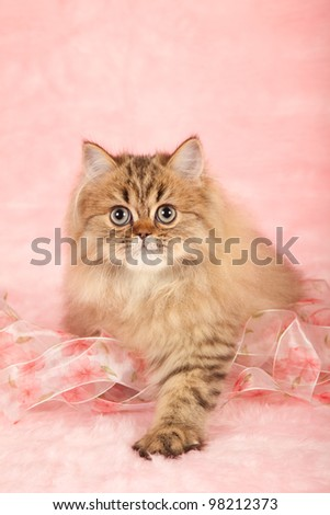 Golden Chinchilla Persian kitten on pink background with pink floral ribbons