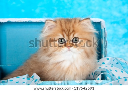 Golden Chinchilla Persian kitten sitting in blue gift box on blue fake fur background