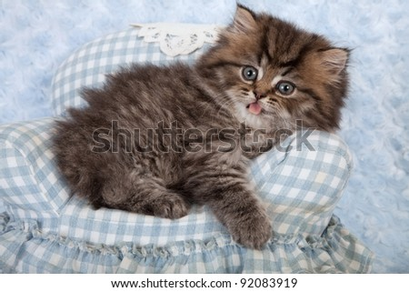 Golden chinchilla persian kittens on blue gingham chair on blue background