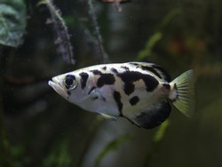 Golden\Clouded Archer fish (Toxotes blythii) photographed in a home aquarium.