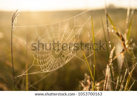 Golden cobweb with glistening morning dew in the grassland in spring season. Close-up. Warm tone. Bright sunrise. Backgrounds, Texture.