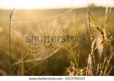 Golden cobweb with glistening morning dew on grassland in spring season. Close-up.