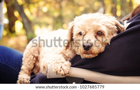 Golden Cockapoo on lap