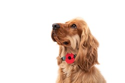 Golden Cocker Spaniel puppy dog looking up wearing a red poppy for Rememberance Day 11/11