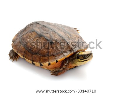 Golden coin box turtle (Cuora trifasciata) isolated on white background.