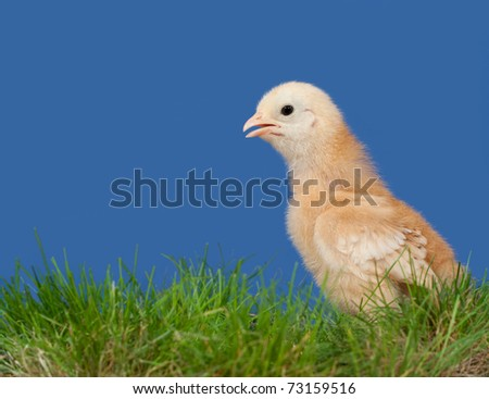 stock-photo-golden-colored-easter-chick-in-spring-grass-against-deep-blue-background-73159516.jpg