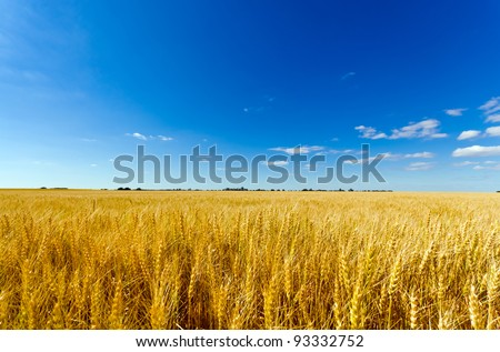 Golden colorful crop meadow under a blue vivid sky