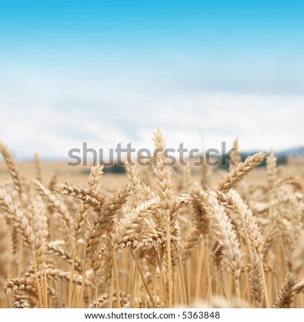 golden corn and blue sky