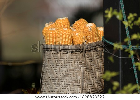 Golden Corn, Dry Corn, Corn is a popular crop. Can be preserved for a long time by drying.