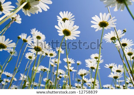 Golden daisies close-up against clear blue sky.