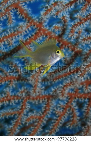 Golden damselfish in the tropical waters of bali