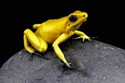 Golden Dart Frog / Phyllobates terribilis