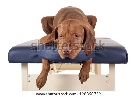 golden dog laying on the massage table on white background
