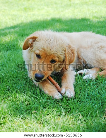 golden dog puppy chewing wood